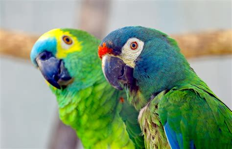 Top 5 Popular Pet Birds   Cute Home Pets