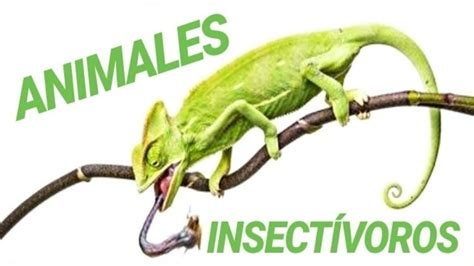 TOP 7 ANIMALES INSECTÍVOROS   YouTube