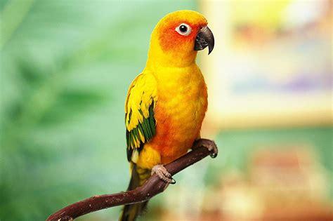 Top5 Best Pet Birds In The World   FuriousList.com