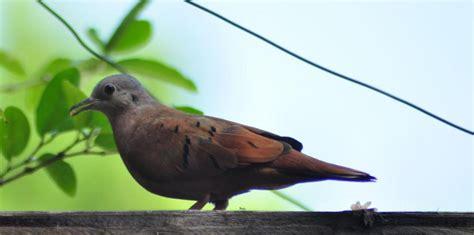 Tortolitas, aves comunes con cualidades especiales