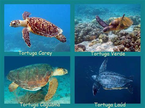 Tortugas Marinas en la Riviera Maya   Excursiones Riviera Maya