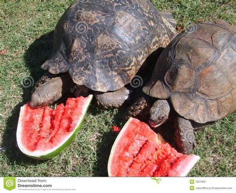 Tortugas Que Comen La Sandía Foto de archivo   Imagen de ...