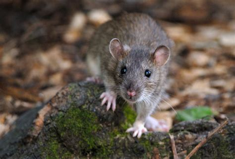 Tourist Litter Blamed for Invasion of Rats at Louvre ...