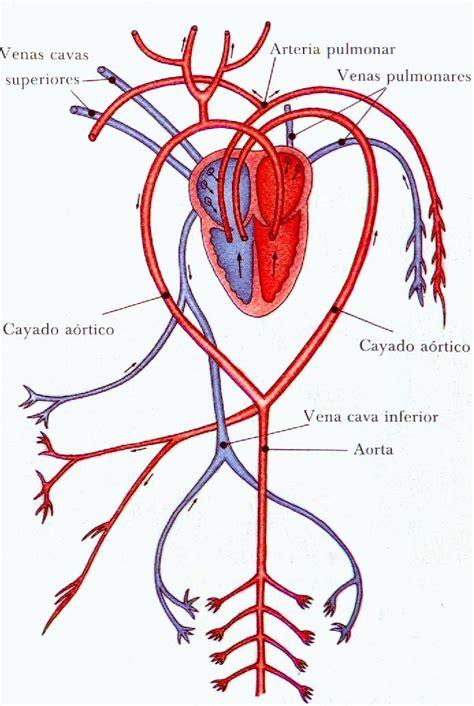 Trabajo aparato circulatorio | El apasionante mundo de la ...