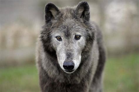 Tracking France's most controversial animal: The wolf ...