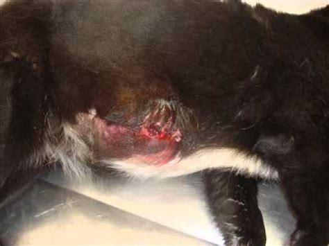 Tratamento de tumor de mama em cadela com remissão total ...