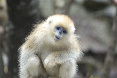 Traveler s Voice: Can golden snub nosed monkeys read?