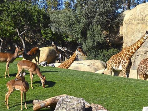 Tres jirafas de Bioparc de Valencia se mudan al parque de ...