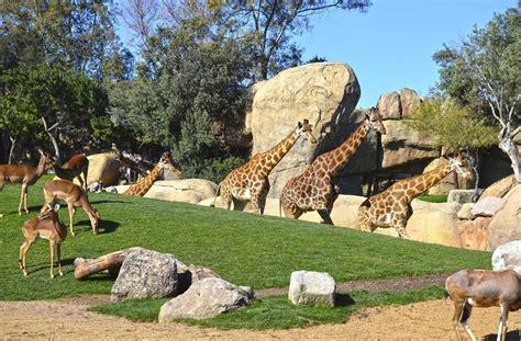Tres jirafas en peligro de extinción del Bioparc se mudan ...
