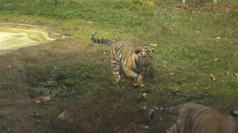 Três Tigres Bebés . Zoo Santo Inácio. Gaia . Porto ...
