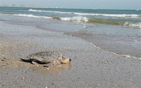 Tres tortugas bobas vuelven al mar en la playa de El Saler ...