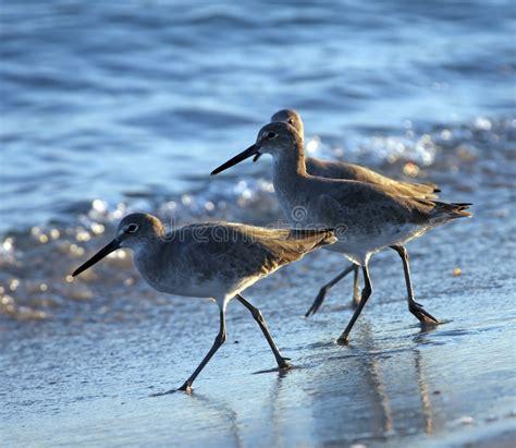 Trío de aves costeras foto de archivo. Imagen de costeras ...