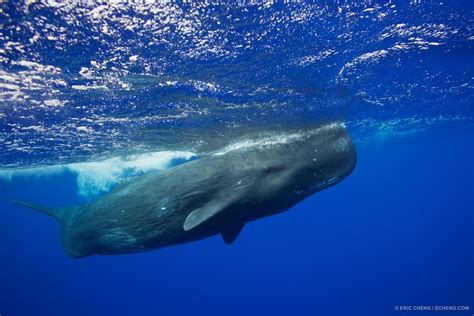 Trip Report: sperm whale expedition to Ogasawara, Japan ...