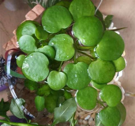 Tu Blog de Acuariofilia: Plantas de Acuario