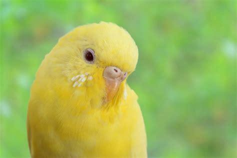 ¿Tu canario dejó de cantar? ¡Tranquilízate! Sigue estos ...