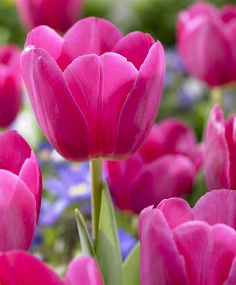 Tulip Barcelona   Triumph Tulips   Tulips   Flower Bulb Index
