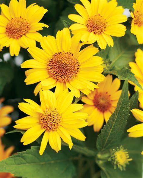 Tuscan Sun    Perennial Sunflower   Heliopsis ...
