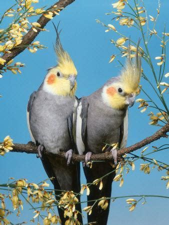 Two Cockatiels, Males  Nymphicus Hollandicus  Australia ...