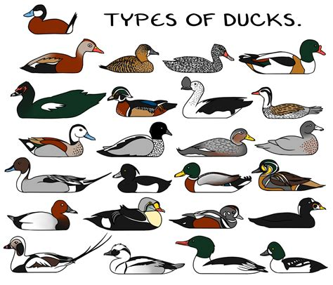 Types of Ducks. by twapa Images   Frompo