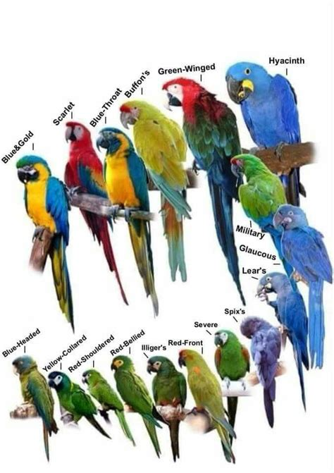 Types of parrots | Beautiful Birds | Pet birds, Birds ...
