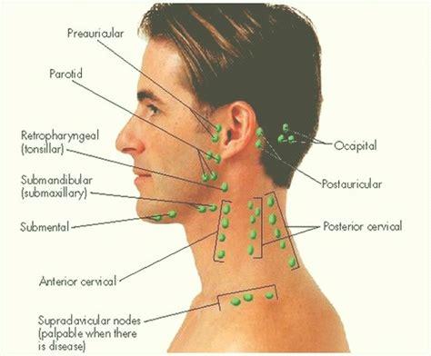 Ubicación de los ganglios linfáticos: función ...