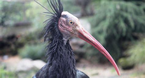 Un ave en peligro de extinción podría desaparecer por la ...