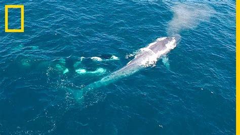 Un dron graba el ataque de un grupo de ORCAS a una BALLENA ...