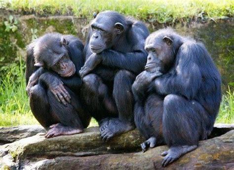 Un grupo de chimpancés se escapan del zoo