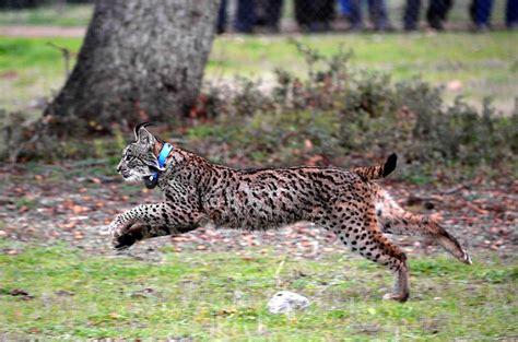 Un lince ibérico liberado en Toledo visita el Parque ...