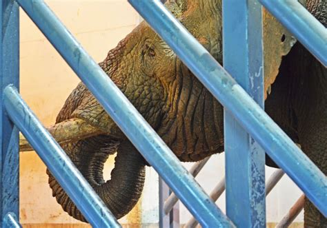 Un nuevo macho de elefante adulto llega a Bioparc Valencia ...