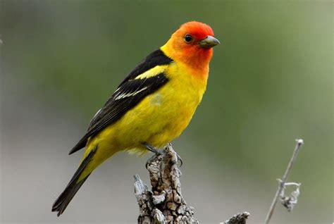 Un pequeño pájaro amarillo con una cara roja perchas en el ...