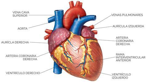Unidad didáctica 7: Aparato circulatorio: El corazón ...