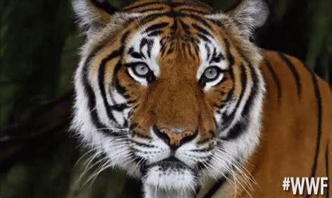 Unimpressed Tiger GIF   Worldwildlifefund Wwf Unimpressed ...