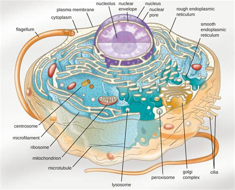 Unique Characteristics of Eukaryotic Cells | Microbiology