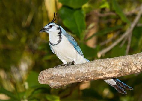 Urraca copetona: Todo lo que debes saber de estas aves