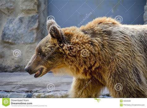 Urso De Brown No Jardim Zoológico De Lisboa Foto de Stock ...