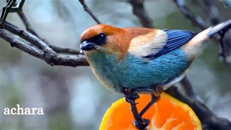 Uruguay...nuestros pájaros pintados   YouTube