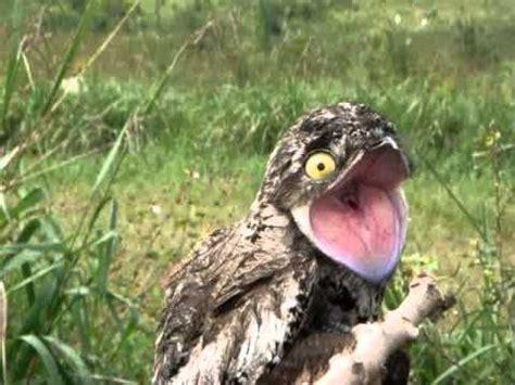 Urutau: a ave com canto misterioso e com aparência de dar ...