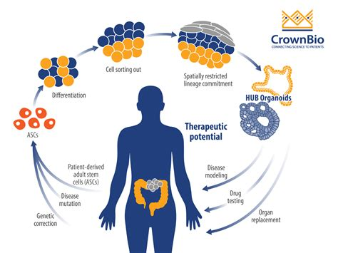 Using Organoids to Understand Colorectal Cancer Mechanisms ...