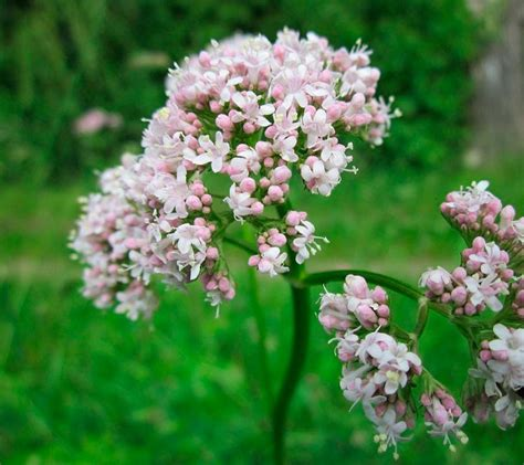 Valeriana | Plantas medicinales para el insomnio. Duerme ...