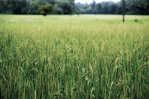 Vallico resistente: control con tratamiento de herbicidas ...