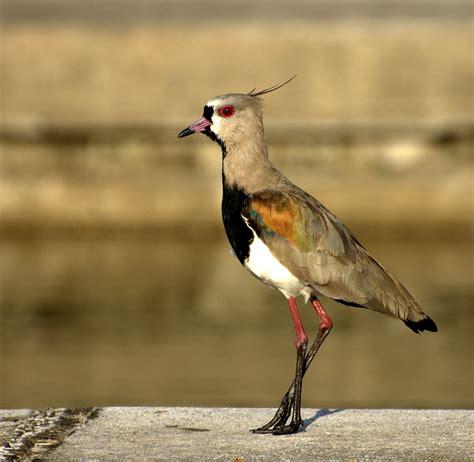 Vanellus chilensis   Wikipedia, la enciclopedia libre