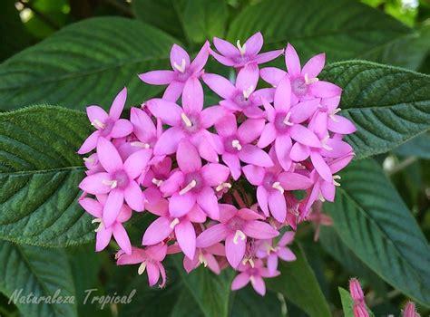 Variedad rosa de la planta Estrellita de Jardín, nombre ...