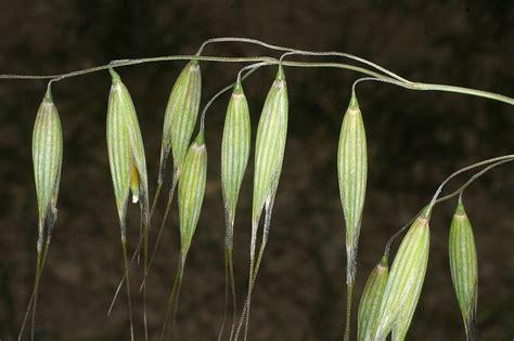 Vascular Plants of the Gila Wilderness   Avena fatua