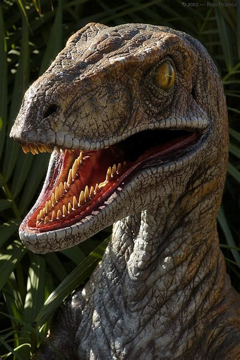 Velociraptor Pictures & Facts   The Dinosaur Database