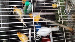 Vendo canarios baratos | Posot Class