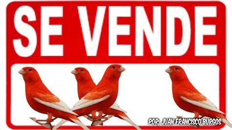 VENTA DE CANARIOS ROJOS ALAS BLANCAS  VENDIDOS    YouTube