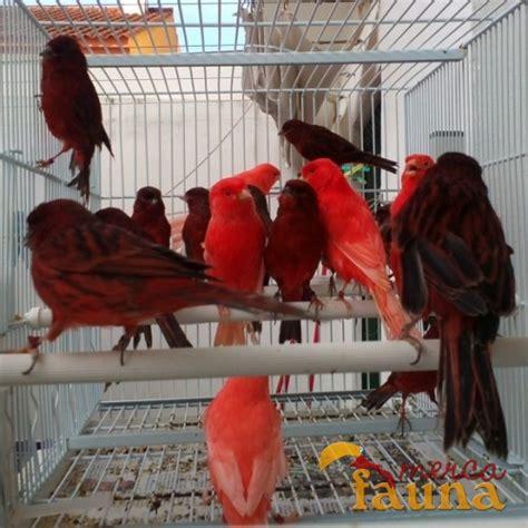 Venta de canarios rojos y bronces   Mercafauna ...