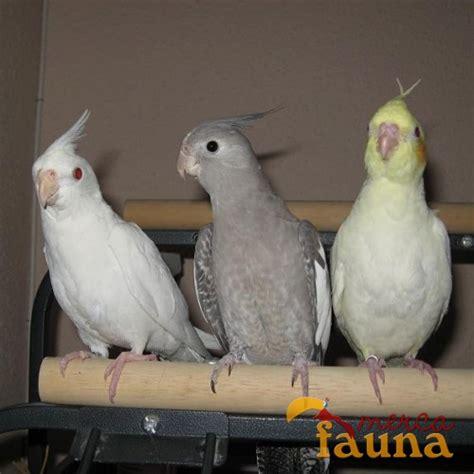 Venta de ninfas papilleras albinas, lutinas y carablancas ...