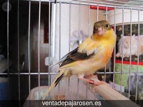 Venta de pajaros en Alzira , Valencia   Venta De Pajaros